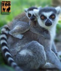 hovatters-wildlife-zoo-wv-lemur