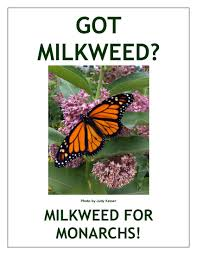 monarch milkweed 2
