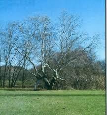 pringle tree 2