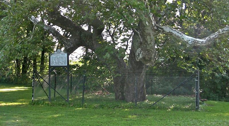 pringle tree 4